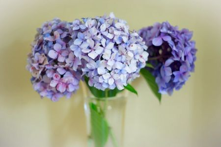 Hydrangea for the garden and home