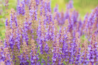 July's plant of the month is the salvia