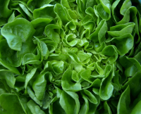 Sow leafy greens for winter