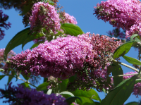 Now is the time to prune buddleja