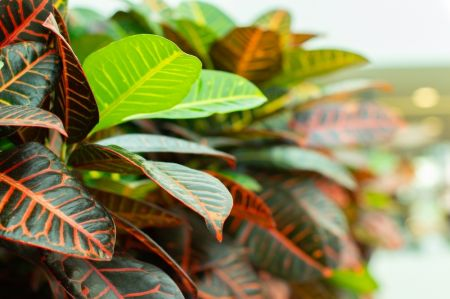 Spice up your interior with Crotons