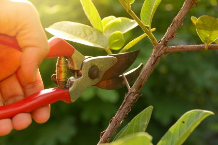 Tips for pruning shrubs, trees and perennials